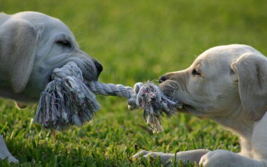 Dogs playing tug a war.