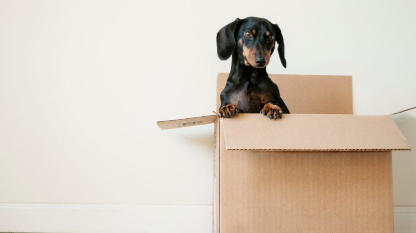 Dog sitting in a packing box for first night in new home.
